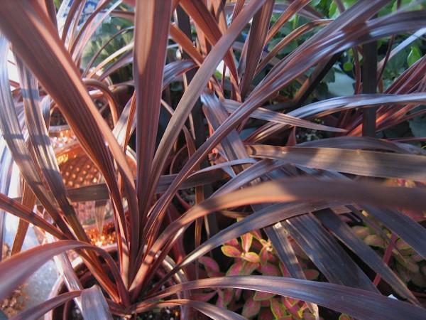 """Cordelyne australis """"Red Star"""" (i.13cmT.) Keulenlilie (aus Australien)"""