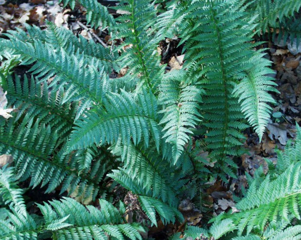 Polystichum aculeatum (i.9cm T.) Glanzschildfarn