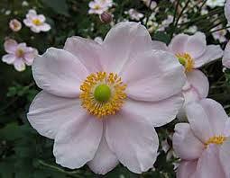 "Anemone hupehensis ""Hadspen Abundance"" Japan-Anemone (i.2lT.)"