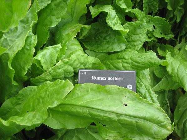 Rumex acetosa (i.12cm T.) Sauerampfer