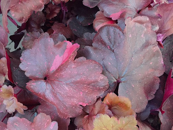 "Heuchera micrantha ""Midnight Rose"" (i.12cmT.), Purpurglöckchen"