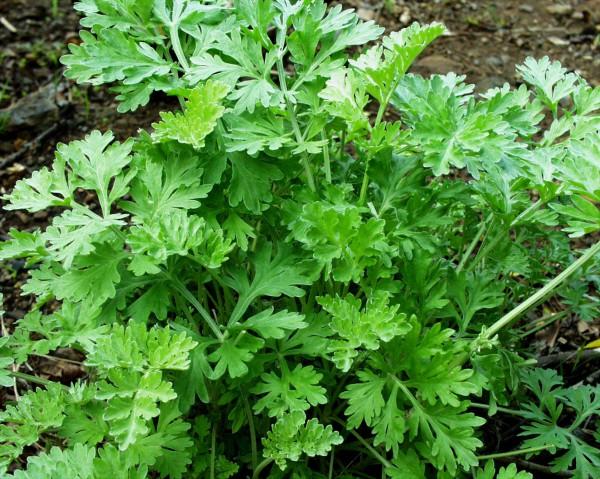 Artemisia absinthium (i.12cm Topf) Wermut