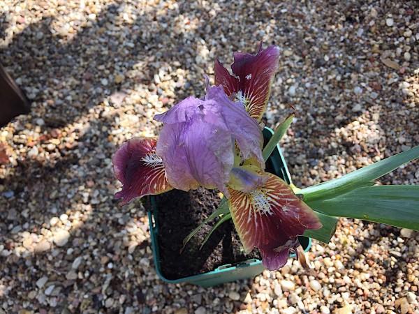 "Iris barbata-nana ""Cherry Garden"" (i.11cmT.), Iris - Zwerg"