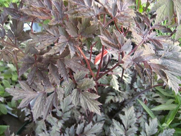 """Cimicifuga (Actaea) racemosa """"Chocoholic"""" R Silberkerze (i.11cmT.)"""