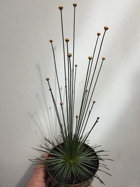 Syngonanthus mikado (i.9cmT.), Mikado Pflanze