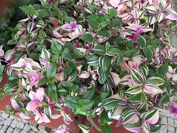 "Tradescantia pendula ""Quadricolor"" (i.12cmT.), Dreimaster Blume"