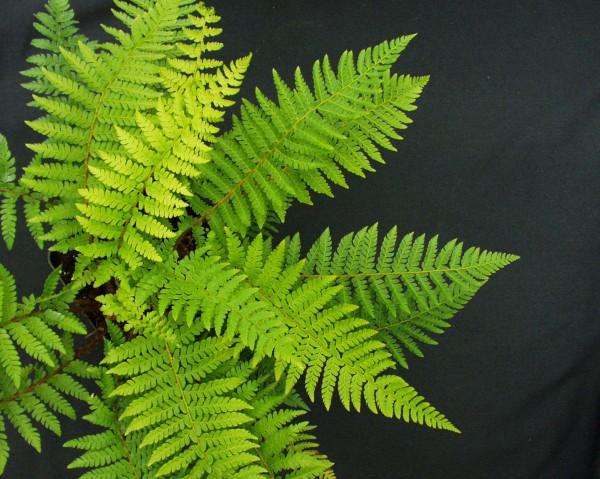 Polystichum braunii (i.11cmT.) Brauns Schildfarn