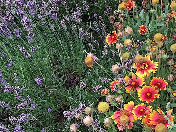 "Gaillardia x grandiflora ""Kobold"" (i.11cmT.),Kokarden Blume"