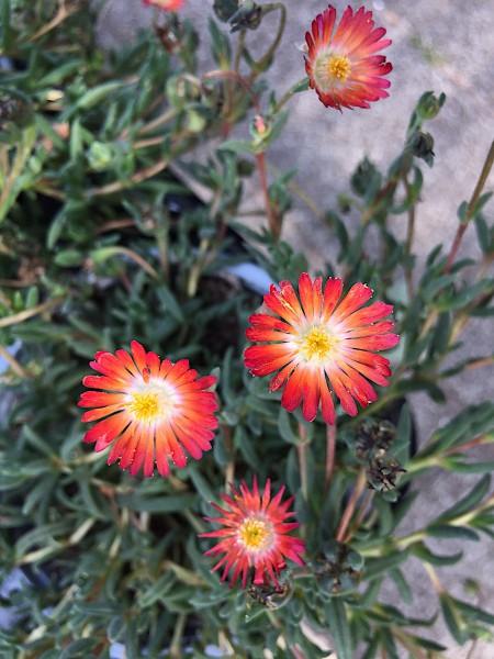 "Delosperma ""Orange""(i.10,5 cmT.), Mittagsblume"