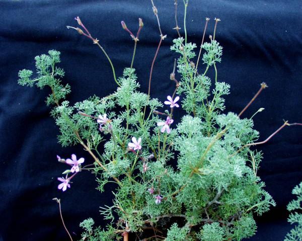 Pelargonium abrotanifolium (i.11cmT.)