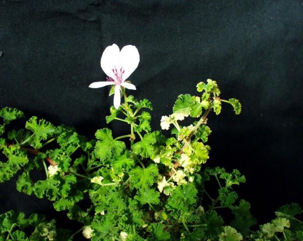 Pelargonium ´Pfirsich`(I.11cmT.)