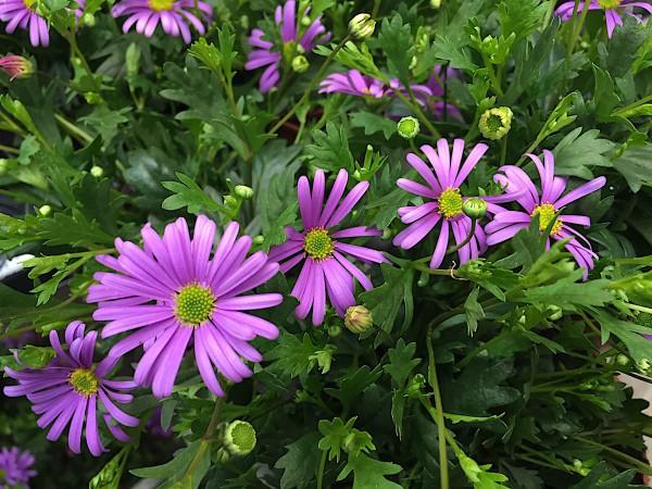 "Brachycome iberidifolia ""xxl Blüten"" (i.10,5 cmT.)(3 Töpfe im Pack),blaues Gänseblümchen"