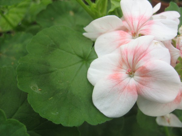 """Pelargonium """"Apfelauge""""(I.11cmT.)"""
