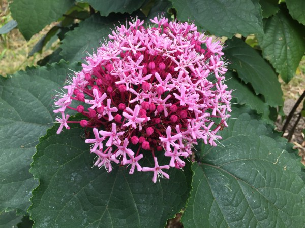 Clerodendrum bungei (i.14 cmT.), China Losstrauch