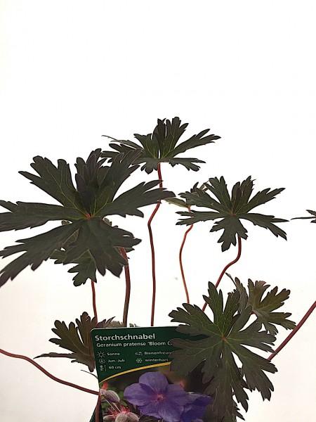 """Geranium pratense """"Bloom Chocolatta®"""" (i.11cmT.), Storchenschnabel"""