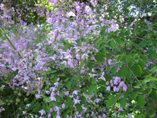 """Thalictrum aquilegifolium """"Black Stockings"""" (i.15 cm T.) Wiesenraute"""