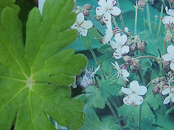 "Geranium macrorhizum ""Spessart"" (i.9cmT.) Storchenschnabel"