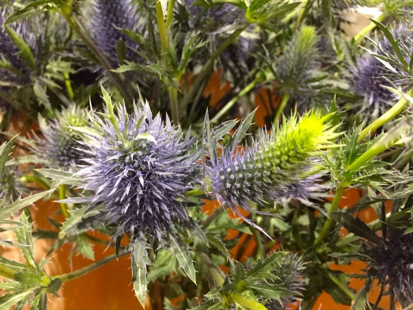 "Eryngium alpinum ""Blue Star"" (i.9cmT.)"