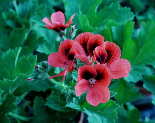 Pelargonium ´Vulcano`(i.11cmT.)