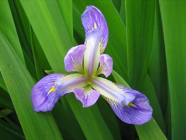 """Iris laevigata """"Blue Beauty aus Neuseeland"""" Garten-Sumpf Schwertlilie (9cmT.)"""