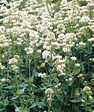"Centranthus ruber ""Albus"" (i.11cmT.) Garten - Spornblume"