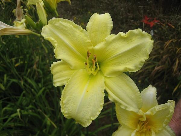 "Hemerocallis ""So Lovely"" (i.11cmT.) Duft-Taglilie aus Neuseeland importiert"