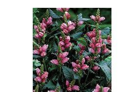 Chelone obliqua (i.15cmT.) Schildblume