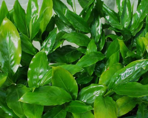 Ellettaria cardamomum (i. 12cm Topf) Blattkardamom