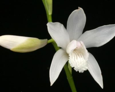 "Bletilla striata ""Alba ""(9cmTopf) Freiland Orchidee"
