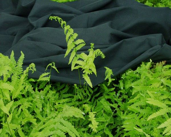 Thelipteris palustris (i.11cm Topf) Sumpffarn