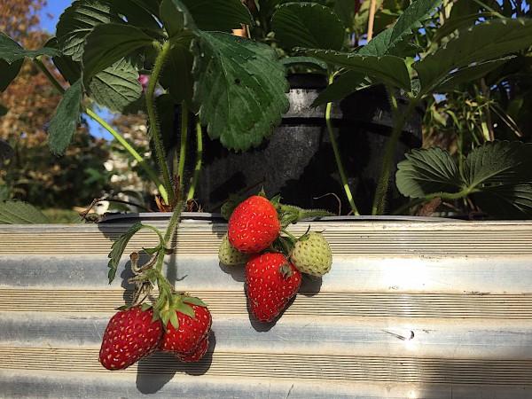 "Fragaria ""Polka"" (9cm Topf) Erdbeere, mittelfrüh"