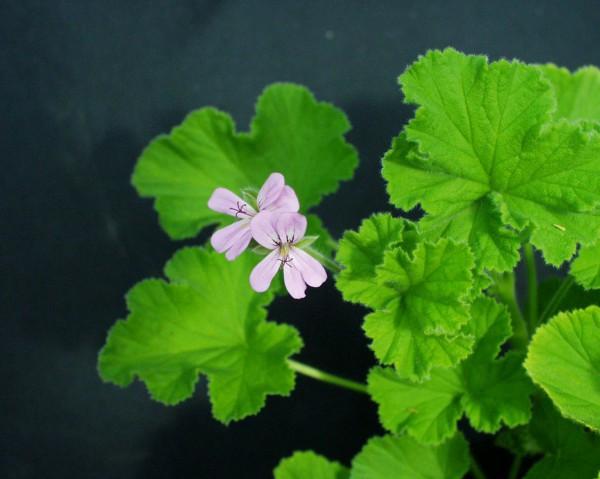Pelargonium capitatum ´Snowflake`(I.11cmT.)