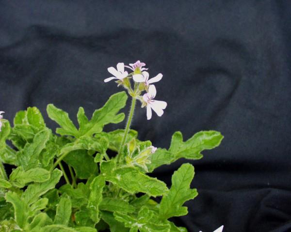 Pelargonium graveolens ´Rober Lemon Rose`(I.11cmT.)