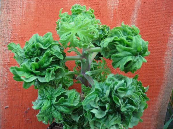 """Pelargonium """"Bontrosai"""" (i.11cmT.) Bonsai - Geranie"""