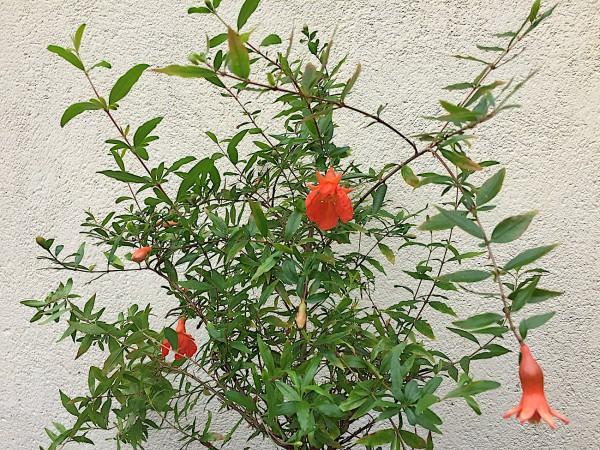 """Punica granatum """"Nana"""" (i.11cmT.), Pomegranate"""