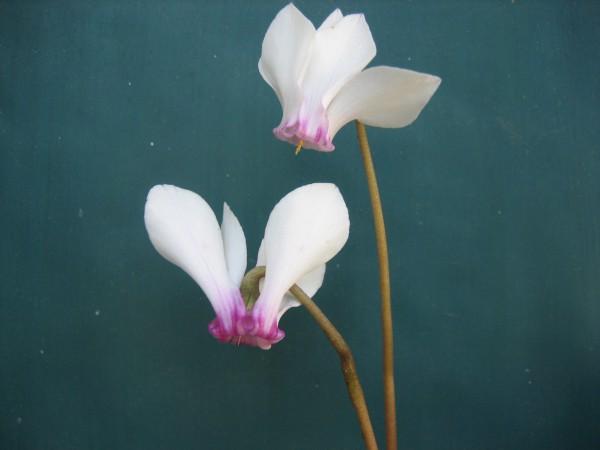 "Cyclamen hederifolium ""Album mit magenta Krone"" (i.9cmT.)"