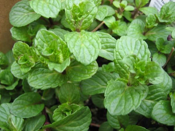 Mentha spicata v. crispa ´Nane`(i.11cm T.) Nane-Minze ( Türkische M. oder Krause M.)