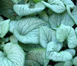 """Brunnera macrophylla """"Silver Heart"""" (i.19cmT.) Silbriges Kaukasusvergißmeinicht"""