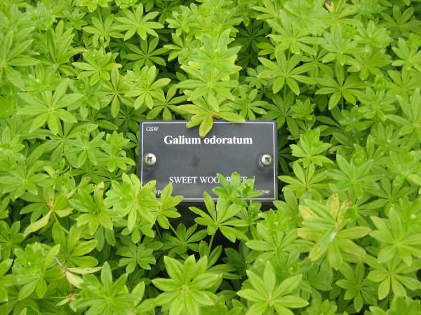 Galium odoratum (i.12cm Topf) Waldmeister