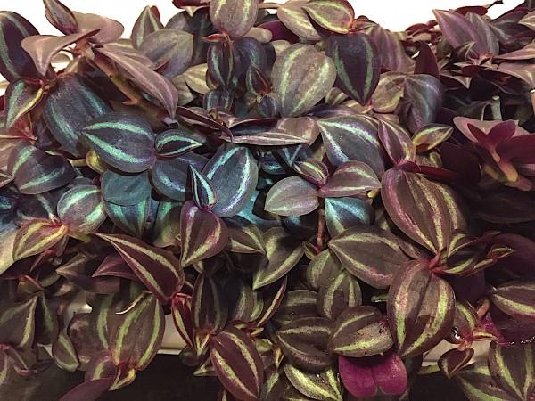 "Tradescantia zebrina ""Purple Joy"" (i.11cmT.)"