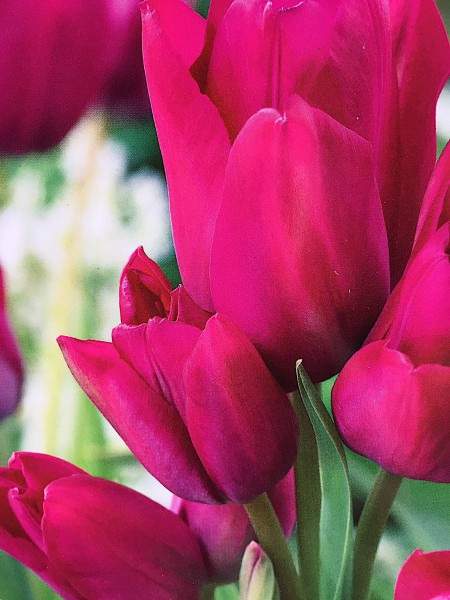 """Tulipa """"Night Club"""" (7 i. Pack), Tulpe, mehrblütig"""