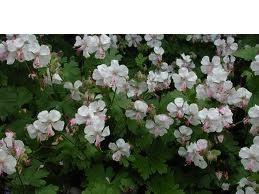 """Geranium x cantabrigiense """"Biokovo"""" (i.9cmT.) Storchschnabel"""