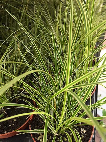 """Carex brunnera """"Jubilo"""" PBR (i.9cmT.)"""