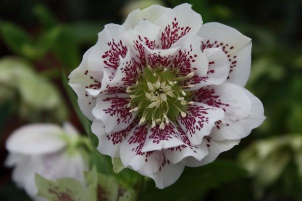 "Helleborus Or.- H. ""Double E. Pic.White Spotted (i.11cmT.)Lenzrose, gefüllt (i.11cmEckT.)"