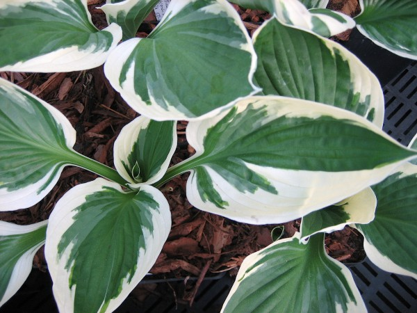 "Hosta ""Minute Man"" (i.9cm.T), Funkie"