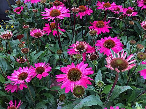 """Echinacea """" Mòoodz awake rose"""" (i.17 cm T.), Sonnenhut"""