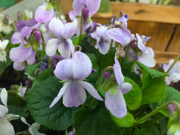 Viola odorata hellblau (i.10,5cmT.) Duftveilchen