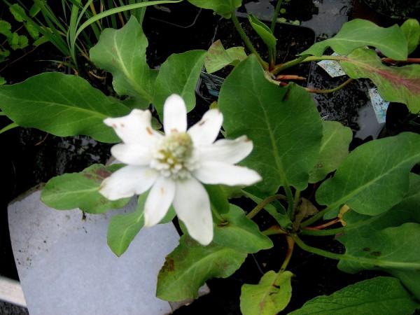 Anemopsis californica (i.11cmT.) Eidechsenschwanz