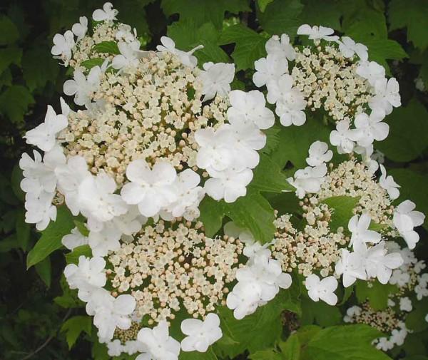 """Viburnum opulus """"Compactus"""" (6l T.) Gemeiner Schneeball"""