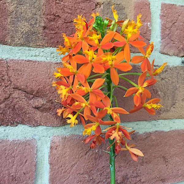 """Epidendrum radicans """"Orange Star Hybride"""" (i.12cmT.),Feuer- Stern- Orchidee"""